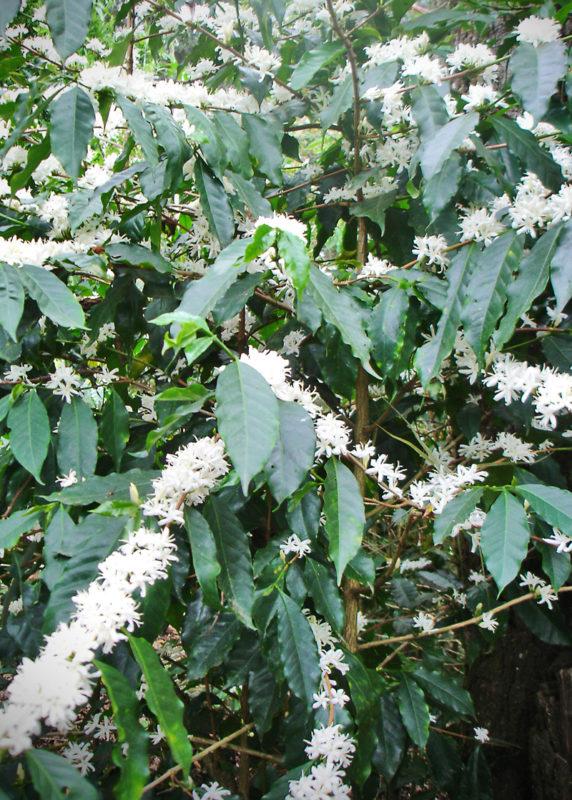 Hermosa floración del café en Jocutla
